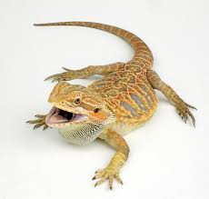 Best Heat Lamps for Bearded Dragons
